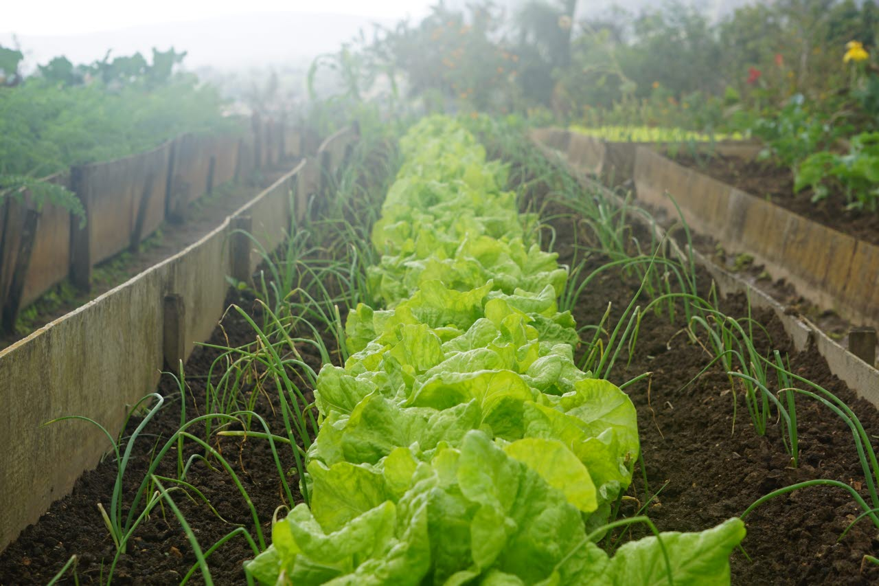 Lettuce growing in an allotment